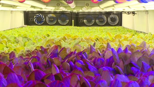 Plants are grown inside a vertical farm facility in Newark, N.J., using a technique called aeroponics.