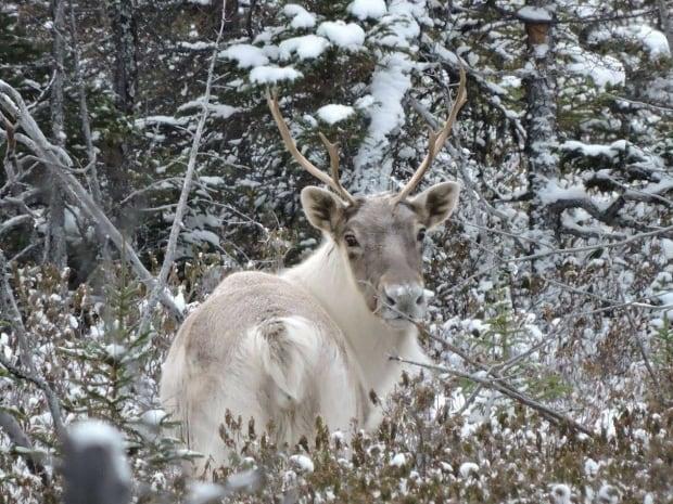 Leaf River caribou herd
