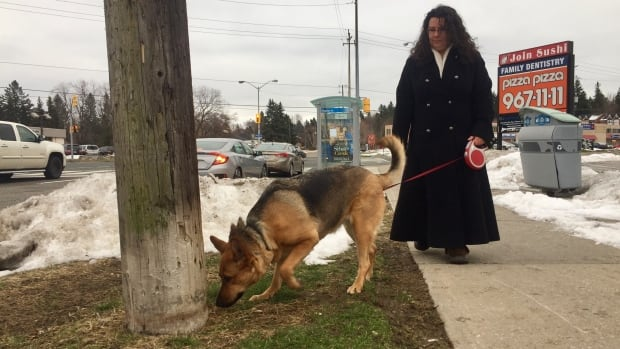 Robot, Rachelle Berube's three-year-old German shepherd, returns safely to the power pole where he was shocked on Boxing Day. Toronto Hydro has stopped electricity flowing to the pole, and Berube says she is happy she reported the incident.