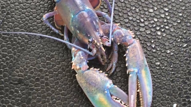 A so-called rainbow lobster has generated hundreds of 'likes' in a social media contest for craziest crustacean.