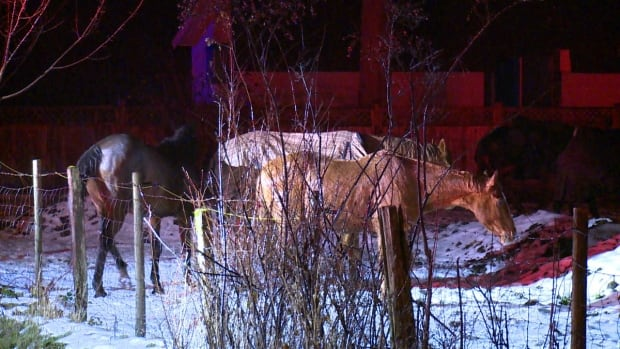 A trio of horses survived a barn fire in Langley B.C. on Dec. 29.