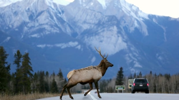 A male elk crosses the Yellowhead Highway, which runs through Jasper National Park in Alberta. A retired nature guide said he's worried about increased vehicle traffic in national parks this summer.