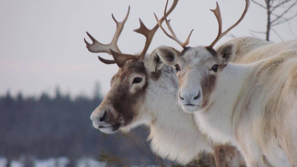 Zoo Backs Out Of Quebec Government's Caribou-moving Scheme
