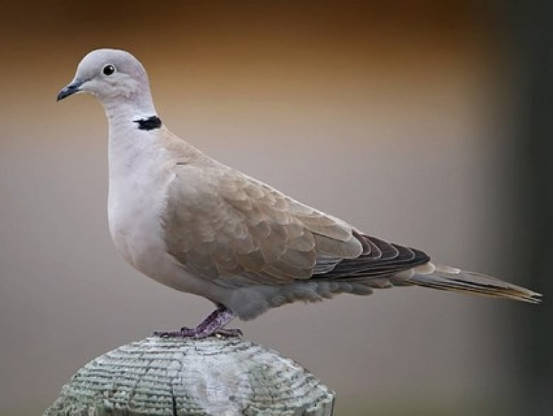 Bird Bandits Volcanic Escape Tropical Doves With Wild Backstory Invade Alberta Cbc News