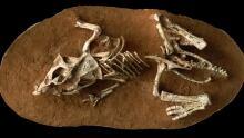 Proceratops dinosaur