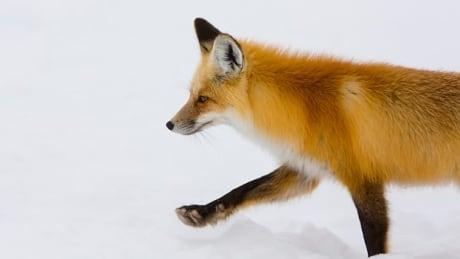 fox BBC Planet Earth II