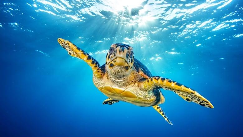 Cineguff sea turtle planet earth