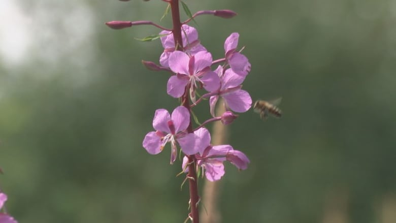 Radio Canada Cote Nord >> How Wild Bees Could Improve Blueberry Production On Quebec