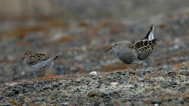 A male pectoral sandpiper, right, courts a female on the tundra.