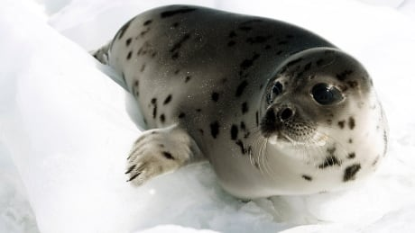 Harp Seal pup grey