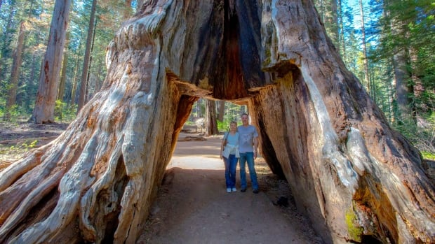The historic Pioneer Cabin Tree, named for the tunnel that was carved out of its base in the 1880s, came crashing down in Calaveras Big Trees State Park in Calaveras County after stormy weather.