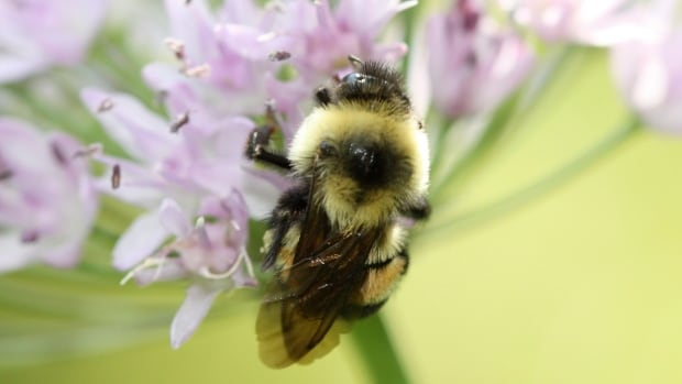 Federal officials said Tuesday, Jan. 10, 2017, that the rusty patched bumblebee has become the first bee species in the continental U.S. to be declared endangered after suffering a dramatic population decline over the past 20 years.