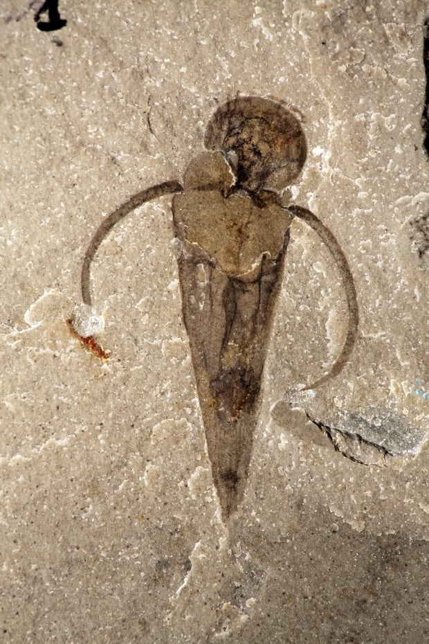 Haplophrentis operculum fossil