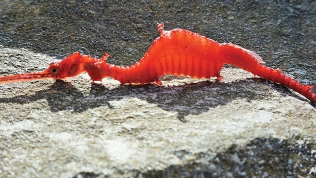 A ruby sea dragon Phyllopteryx dewysea that washed up on the Point Culver cliffs in Western Australia.