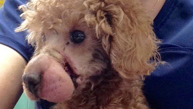 Frankie, a poodle that suffered tremendous abuse, is doing much better now, according to Toronto Animal Services. PETA, meanwhile, is hoping the person who abused him will be arrested.