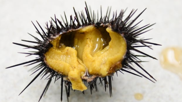 A farmed sea urchin with prized yellow-orange gonads, known as 'uni' to sushi lovers, after 12 weeks on a diet of manufactured feed including kelp and fish meal.
