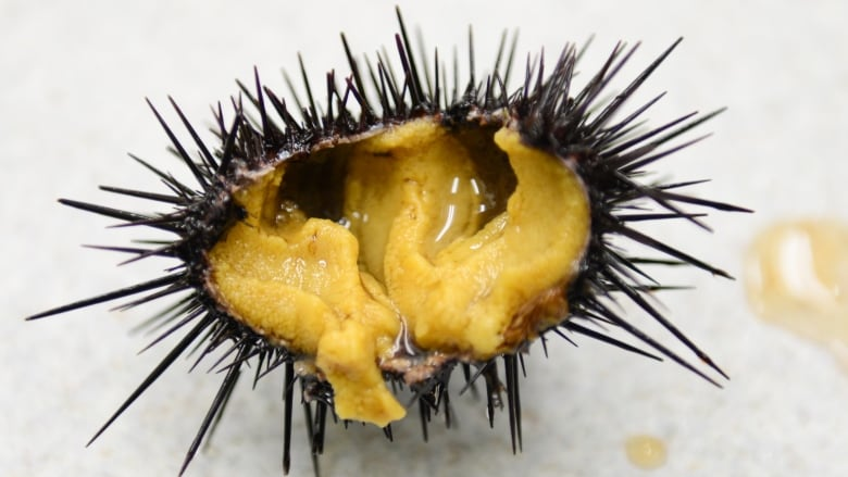 from zombie urchins to seafood gold studies test sea urchin