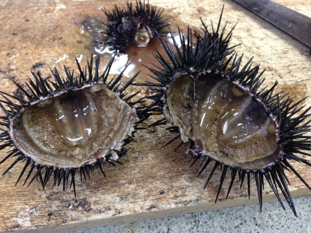 Empty urchins from the barrens