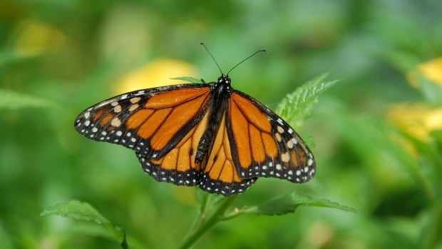 University of Guelph researchers have led a study that pinpoints where monarch butterflies were born in North America.