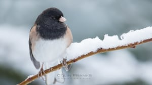 Dark Eyed Junco in the snow