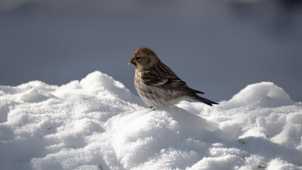 A redpoll stands atop a mound of snow.
