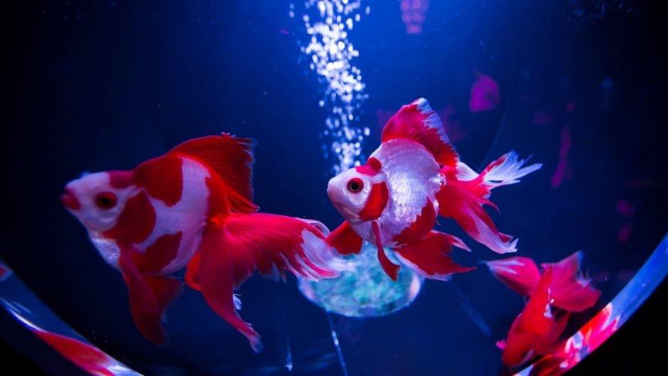 "Goldfish swim in a tank at the ""Art Aquarium 2016"" exhibition in Tokyo, Japan.  Zoology researcher Dani Rabaiotti says some species of fish actually use farting as a form of communication."