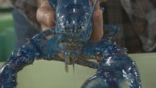 Occasionally, a lobster's DNA mutates in a way that turns it blue. This lobster is part of the Depar