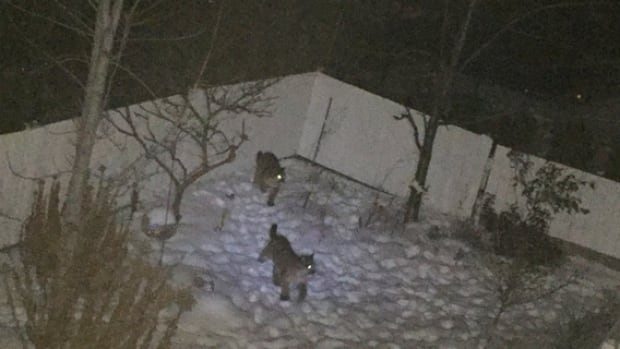 These two cougars, along with another young cub, were euthanized Tuesday after becoming too habituated to urban areas.