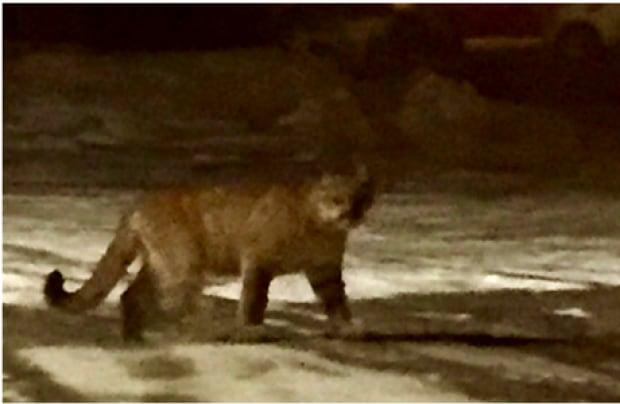 cougar penticton