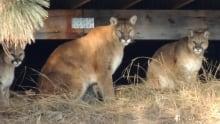 cougars in penticton