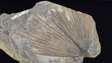 Canada ancient palm fossil