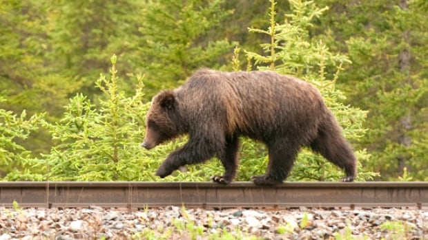 A grizzly bear walks along a railway track in this photo from Parks Canada, which has spent years studying how to reduce collisions between trains and wildlife.