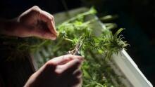 Medical marijuana Halifax
