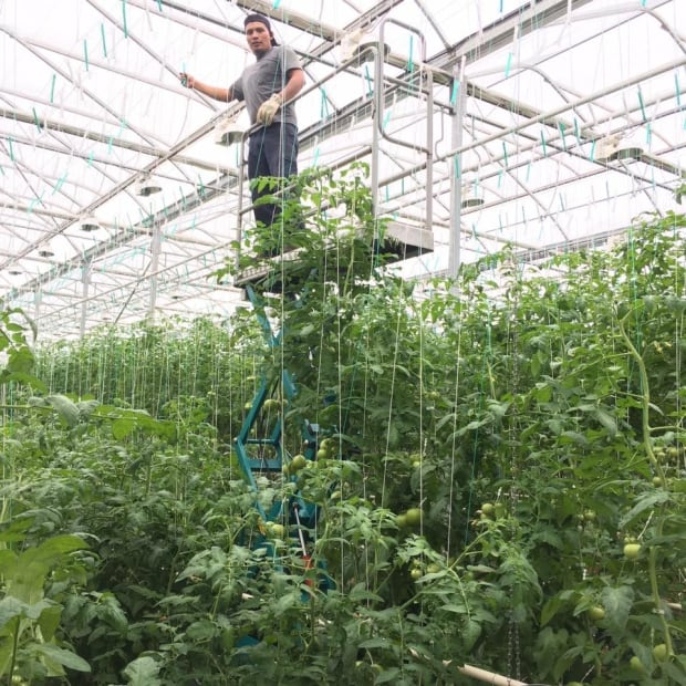 Schurman Family farm greenhouse grafting tomatoes