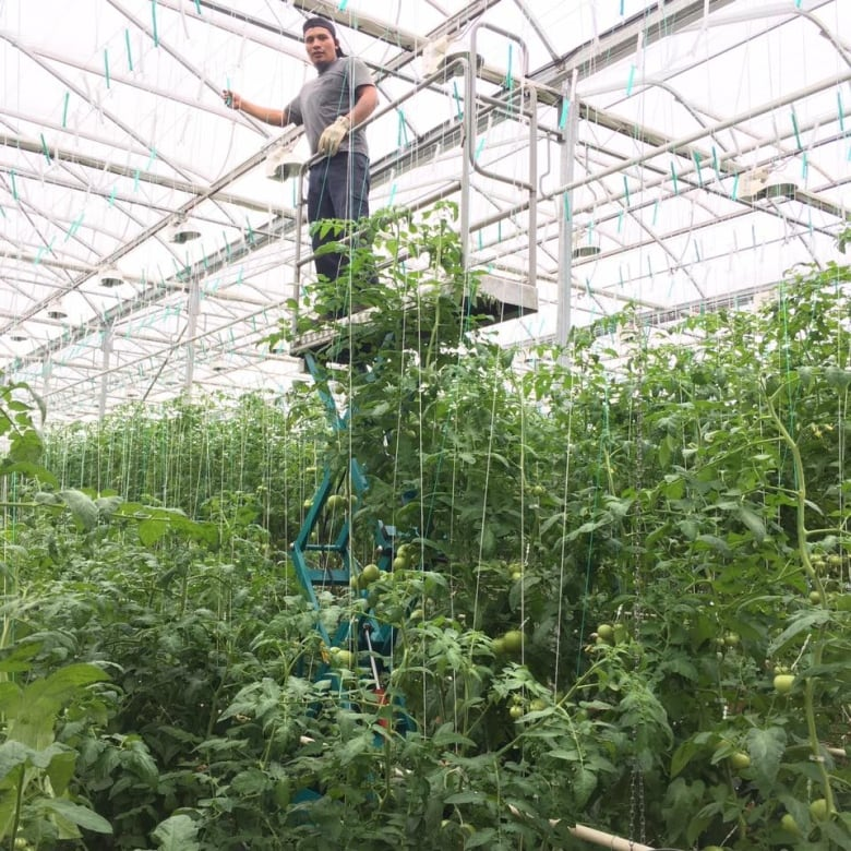 Let there be light: How Island greenhouses are growing