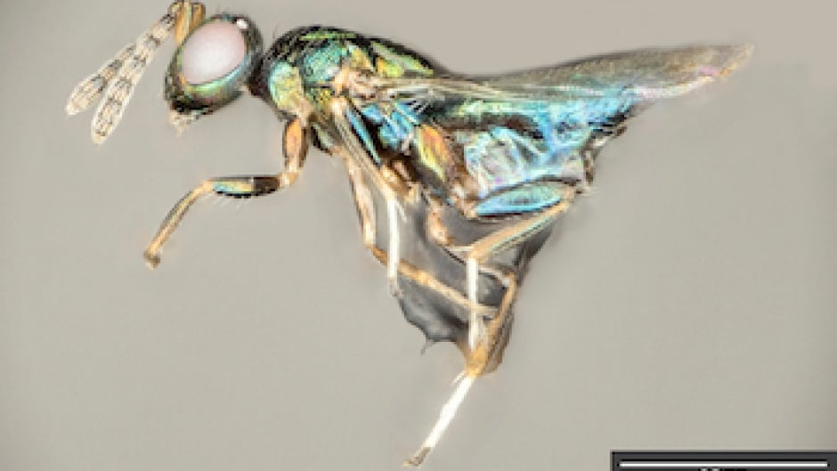 The Perpetrator:  The Crypt-keeper wasp is a parasite that eats its way through the head of its host, another parasite.