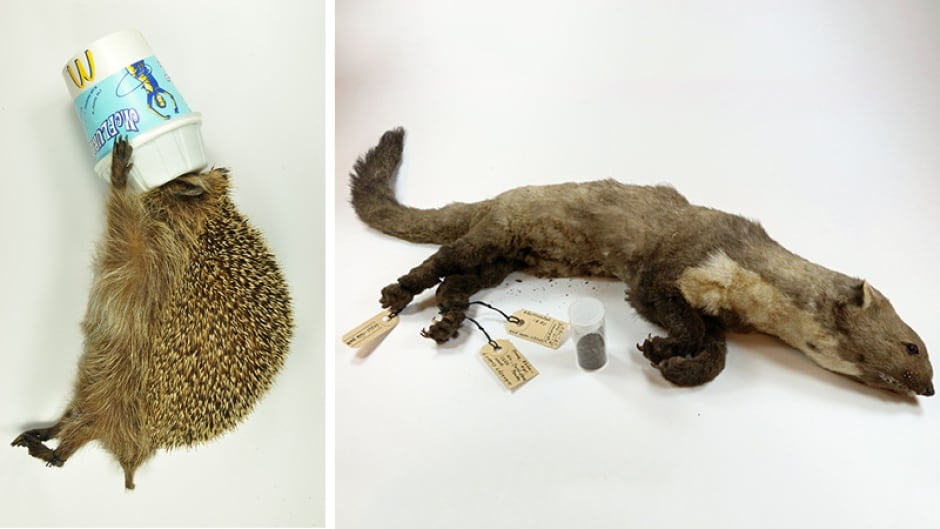 The famous CERN weasel (right) is the latest addition to Rotterdam Natural History museum's Dead Animal Tales exhibition. The weasel, who made headlines after it was electrocuted by the Large Hadron Collider, joins other animals like the McFlurry hedgehog in the quirky collection.