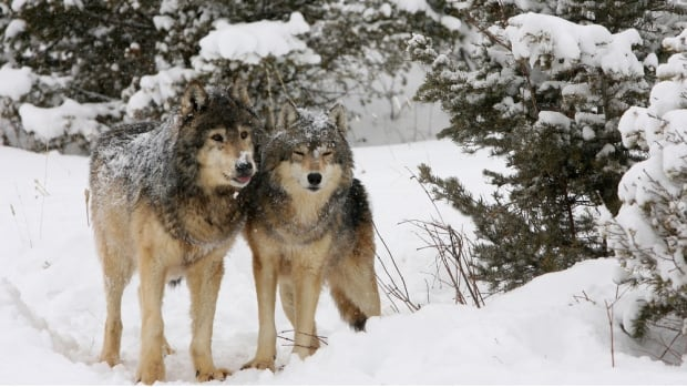 Conservation officers in B.C.'s East Kootenay region say someone appears to have left poison in a wolf travel corridor in order to kill wolves moving through the area.