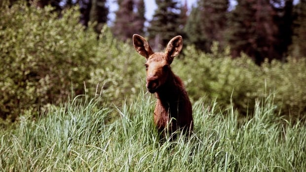 The Wildlands League is calling for an end to the annual fall hunt of moose calves, such as this one.