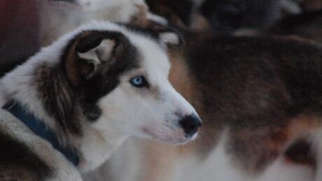 North-Yukon-Quest-Sled-Dogs