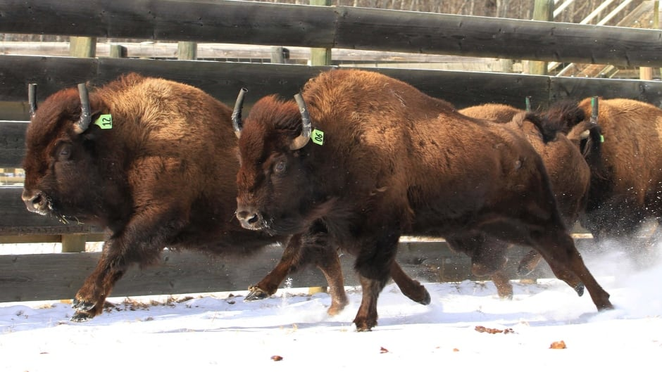 A herd of 16 bison was relocated into Banff National Park on Monday. Five of the animals have tracking collars which transmit data back to the Environment Canada team.