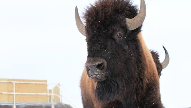 Bison relocation
