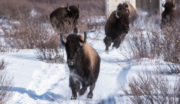 bison relocation