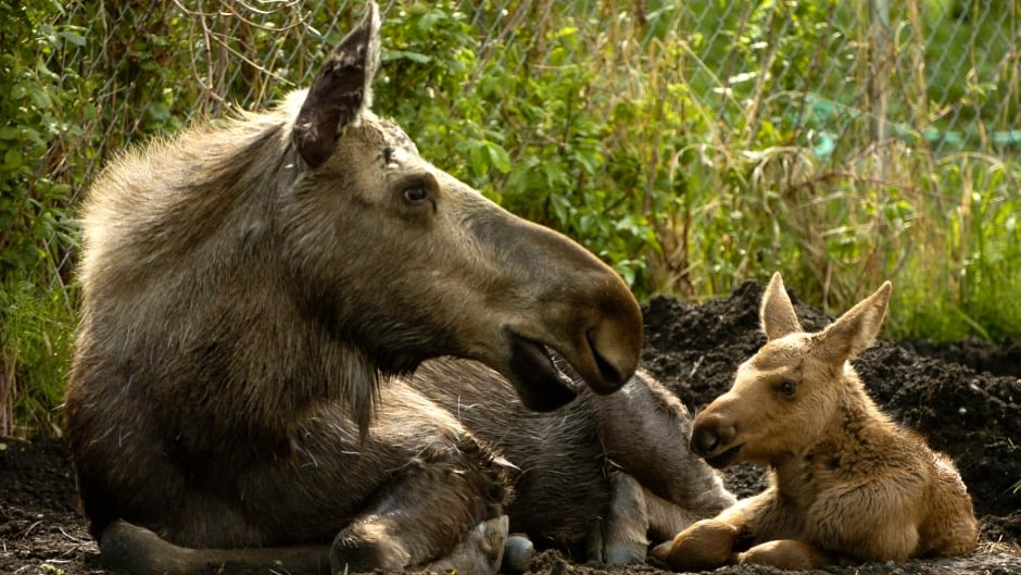 What do you think? Is it time to ban the hunt on moose calves? Or do we need other reforms?