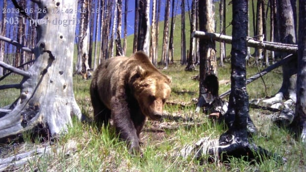 A remote camera photo of a grizzly bear is shown in a handout photo. Biologists are proposing a vast network of interconnected remote cameras that could revolutionize the study of bears, moose, caribou, cougars and other large animals across North America.