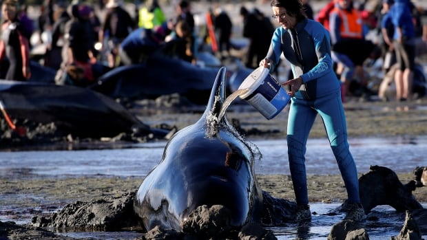 Hundreds Of Whales Dead After Beaching In New Zealand