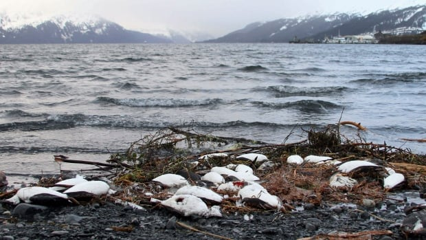 Dead common murres lie washed up on a rocky beach in Whittier, Alaska, in early January. A year after tens of thousands of common murres, an abundant North Pacific seabird, starved and washed ashore on beaches from California to Alaska, researchers have pinned the cause to unusually warm ocean temperatures that affected the tiny fish they eat.