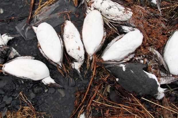 North Pacific Bird Deaths