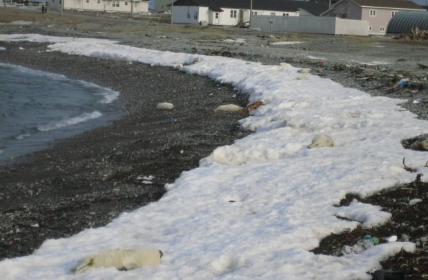 Harp seal pups on shore in Newfoundland in 2010