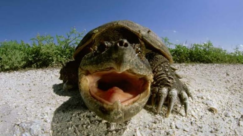 snapping-turtle-face.jpg